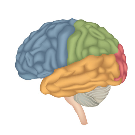 Human brain lateral view