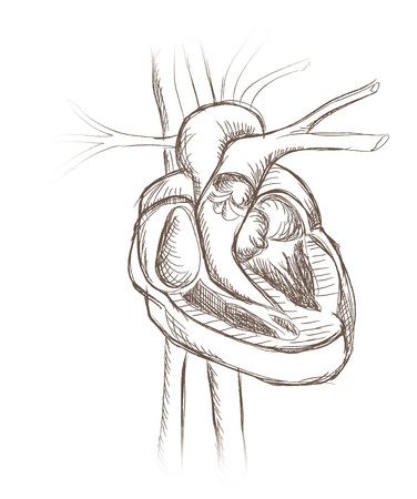 superior vena cava: Human heart anatomy from  healthy body, vector illustration  Heart cross section  Hand drawn vector