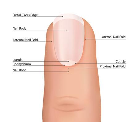 soins mains: Ongle vecteur clou doigt d'anatomie Illustration