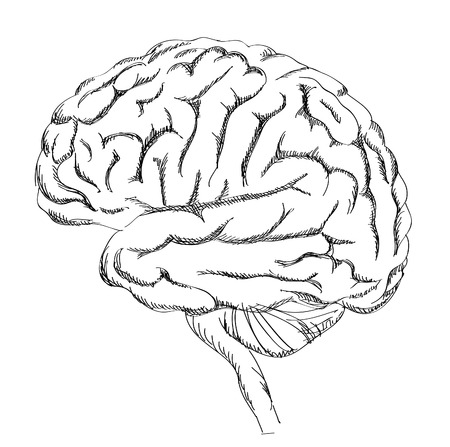 frontal lobe: Brain anatomy. Human brain lateral view. Sketch illustration isolated on white background.  Illustration