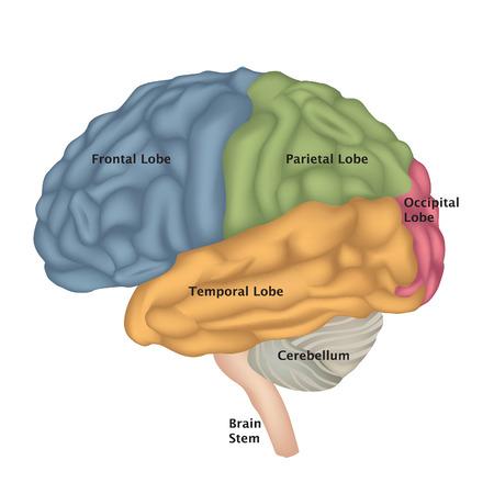 Anatomie van de hersenen. Menselijke hersenen zijaanzicht. Illustratie geïsoleerd op een witte achtergrond. Vector Illustratie