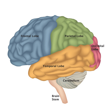 temporal: Brain anatomy. Human brain lateral view. Illustration isolated on white background. Illustration