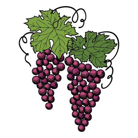 bunch of grapes: Grapes with leaves on the branch isolated on white background. Illustration