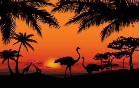 avestruz: Paisaje africano con la silueta del animal. Atardecer de fondo Savanna.
