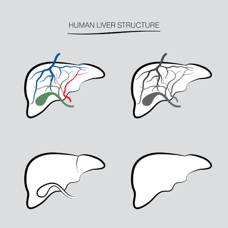 hepatic: Human liver structure. Human internal organ icons set