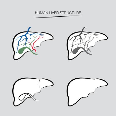 higado humano: La estructura del h�gado humano. Iconos de �rganos internos humanos establecen