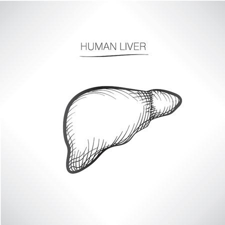 higado humano: H�gado humano iolated. Esbozo iconos de �rganos internos Vectores