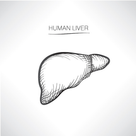 Human liver iolated. Internal organ icons sketch