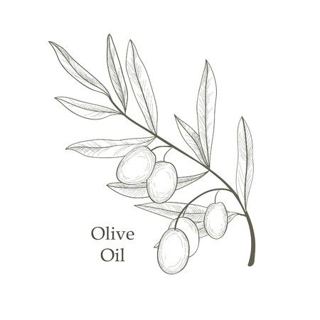 antigua grecia: Rama de olivo con aceitunas aislados boceto sobre fondo blanco rama de olivo Ejemplo retro grabado vectorial