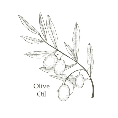 Olive tree branch with olives isolated sketch over white background Retro olive branch engraving Vector illustration Illustration