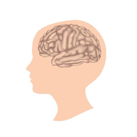 male anatomy: Brain Illustration