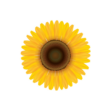 Sunflower. Summer flower isolated. Vecor illustration