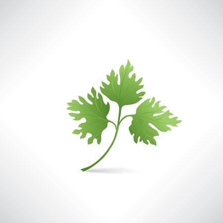 cilantro: Fresh green parsley vector illustration Salad healthy food icon Illustration