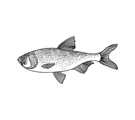 fisheries: Fish sketch isolated over white background. Seafood icon. Hand drawn engraving illustration of gilt head and sea bass. Illustration