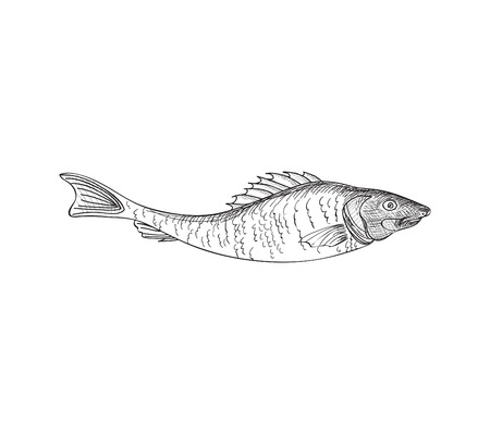 Fish sketch isolated over white background. Seafood icon. Hand drawn engraving illustration of gilt head and sea bass. Illustration