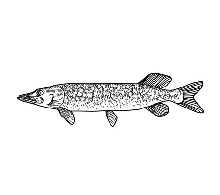 fishery: Fish sketch isolated over white background. Seafood icon. Hand drawn engraving illustration of gilt head and sea bass. Illustration