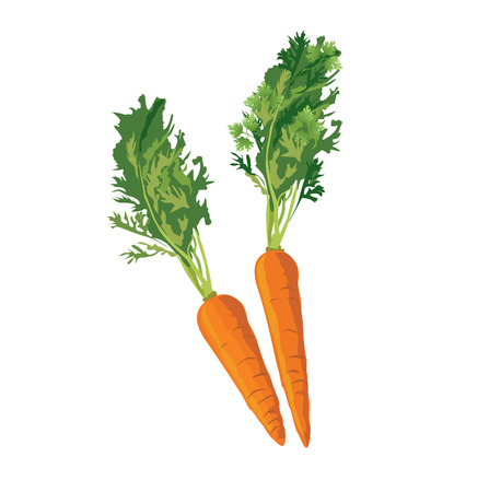 isolated ingredient: Carrots. Ripe carrot food ingredient. Vegetable carrot isolated