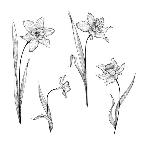 fields of flowers: Floral bouquet etching set. Flower daffodil botanical engraving background. Floral ornamental design element for greeting card. Spring nature. Flourish garden sketch. Illustration