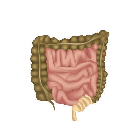 cecum: human digestive system, digestive tract or alimentary canal. Large Intestine isolated. Illustration