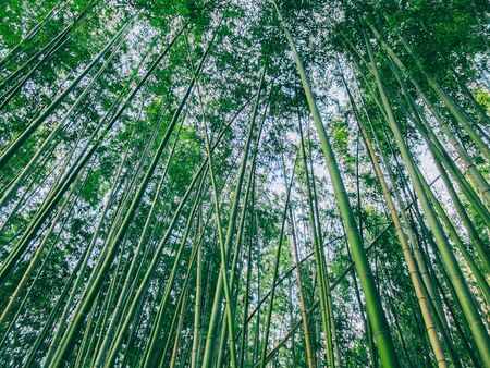 Thicket of lush green bamboo plants looking up from below into the canopy of leaves in a full frame nature background Stock Photo