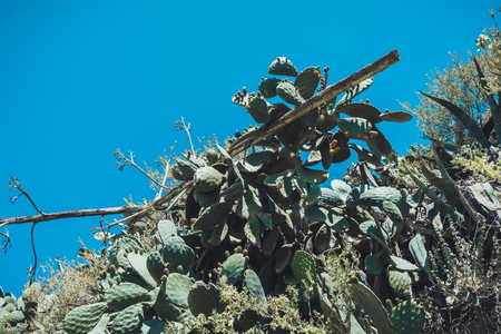 Fruiting prickly pear cactus growing on an arid slope under a clear hot sunny blue sky Imagens
