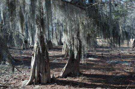 Cypress trees on a summer with hanging Spanish moss