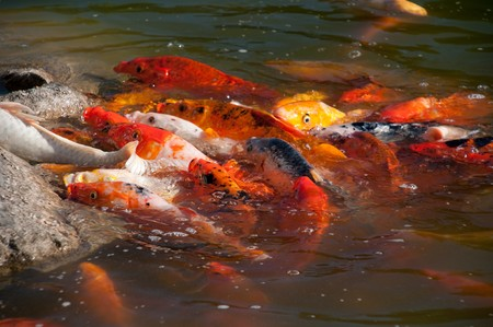 Koi Fish Swimming photo