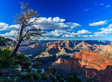 gnarled: Gnarled tree on the edge of the Grand Canyon