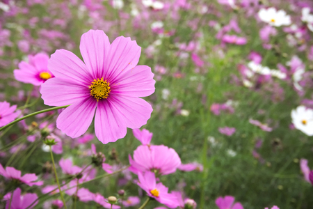 Flower meadow. Cosmos flowers,  (Coreopsideae) Banque d'images