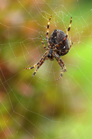 Big hairy Garden Spider in a web on green mottled background. Stock fotó