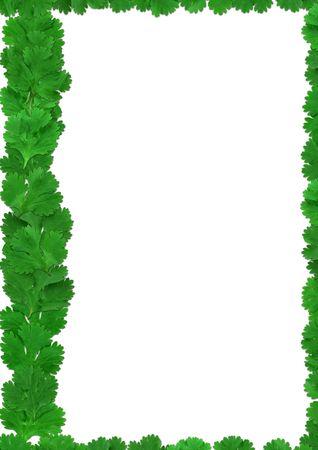 coriandrum sativum: Hojas de cilantro verde - marco de cilantro sobre un fondo blanco