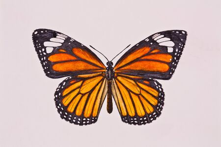 drawing butterfly Stock Photo - 11762850