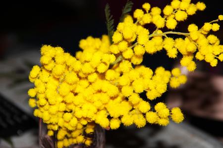 mimosas Archivio Fotografico