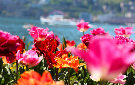 Tulips in front of a lake