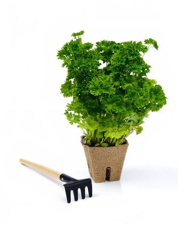 plant pots: Green parsley in flowerpot with little rake