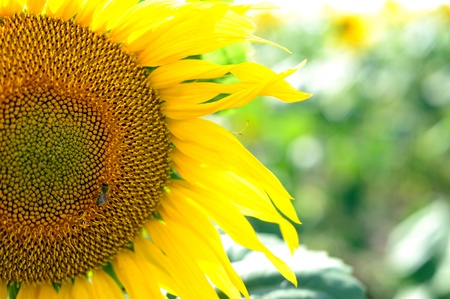 An image of a little bee on a yellow sunflower photo