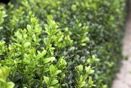 boxwood: Boxwood bush - closeup and selective focus Stock Photo