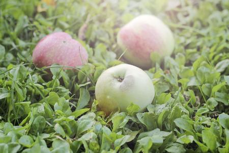agricultura: Manzanas caidas en el suelo, foco selectivo, efecto tonificado