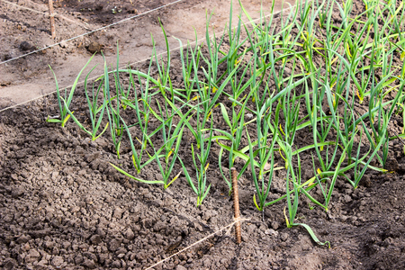 natue: Young green leaves of garlic growing in the ground