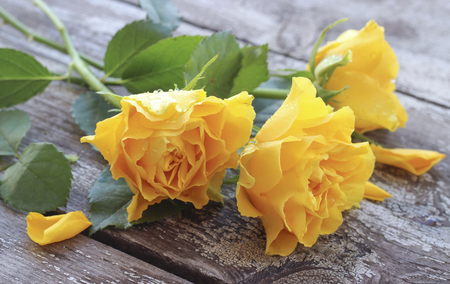 Yellow roses with water drops on a wooden background Stock Photo