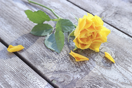 Yellow rose with water drops on a wooden background