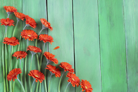 abloom: Orange gerbera daisies on a green plank background,  free text place, holiday concept