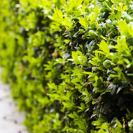 boxwood: Boxwood bush after cutting, young leaves, soft selective focus