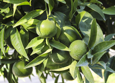 Unripe green tangerines on a tree branch that looks like limes in a citrus garden