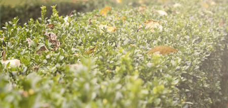 boxwood: Boxwood bush with fallen dried leaves, toned, soft selective focus