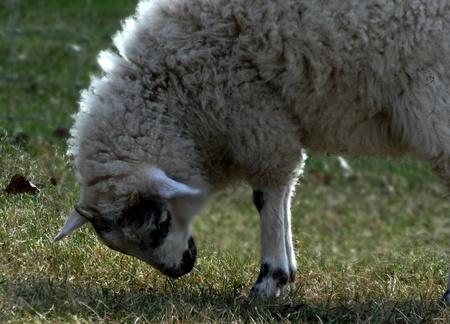 Lamb Grazing  Фото со стока