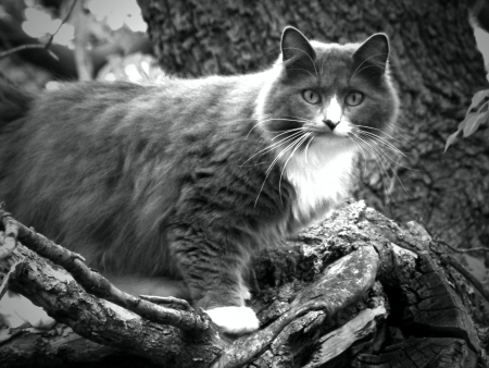 Grey cat Black and White