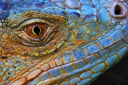 Amazing Iguana specimen displaying a beautiful blue colorization of the scales  photo