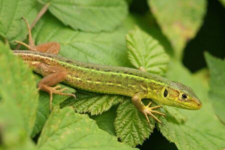 Juvenile Lacerta viridis or bilineata  photo