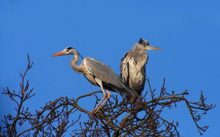 grey heron: Grey Herons on the Top of a Tree